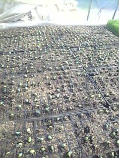 二回目の枝豆です