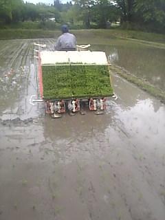 小雨の降る中、田植え開始