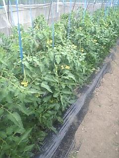 トマトも4段目の花が咲いてます