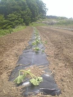 農学校でカボチャの定植をしました