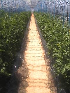 トマトの通路に籾殻を敷きました
