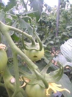 トマトの穴あき果です