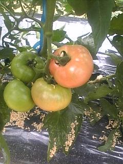 トマトの一段目も赤くなってきました