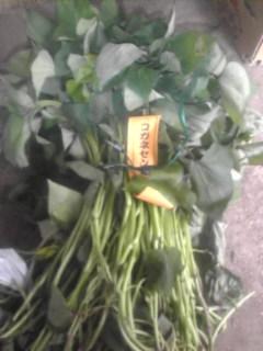 黄金千貫の苗です