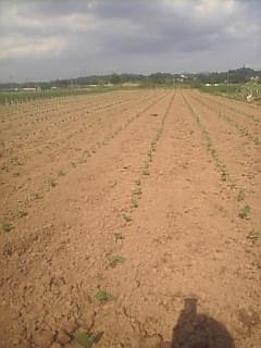 枝豆の定植も全部終わりました
