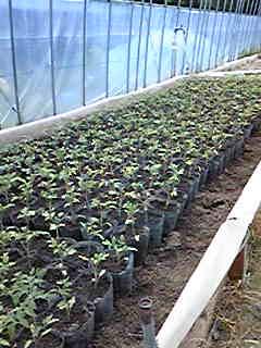 トマトの仮植がほとんど終わってました
