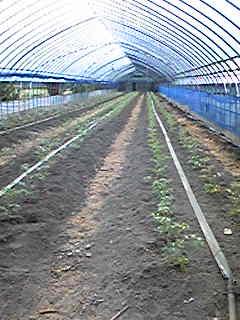 昨日の午後から抑制トマトを植えました