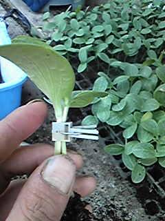 胡瓜の接ぎ木です