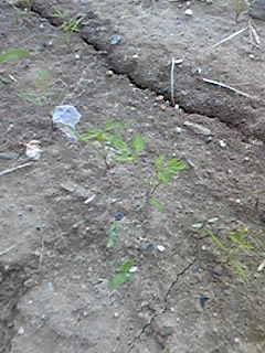 人参の芽も大きくなり始めました