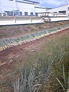葱の植え替えが始まりました