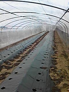 トマトを植える準備中