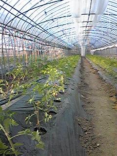 トマト植え開始