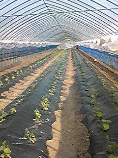胡瓜も全部定植しました